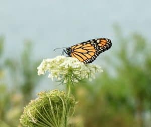 Keeping track of Newcastle's butterflies in Mexico