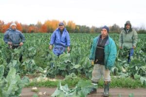 Early morning cauliflower harvest